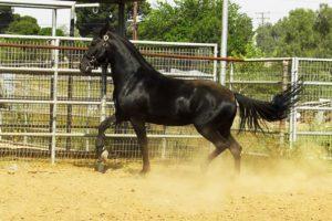 ninja-stallion-marchador22