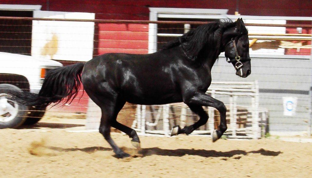 stallion-mangalaramarchador